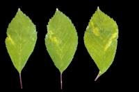 marbrure à anneaux verts (feuilles)
