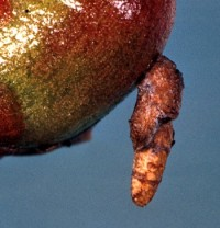 porte-case fuselé du pommier (larve)
