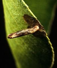 porte-case fusele du pommier (larve) 2