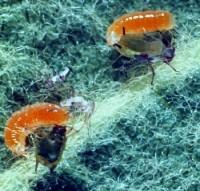 cécidomyie du puceron (larves)
