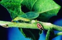 chrysope (adulte et larve)