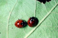 coccinelle à sept points (adultes)