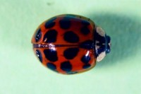 coccinelle asiatique (adulte)