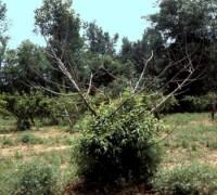 peach tree short life (arbre)