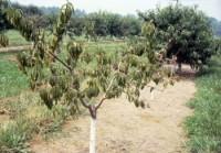 picoture de la tige (arbre)