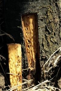 picoture de la tige (tronc)