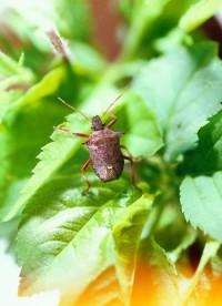 punaises pentatomides (adulte)