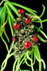 punaises pentatomides (œufs et larves)