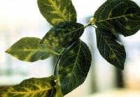 sharka du prunier (feuilles)