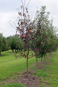southern blight (arbre)