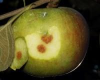 punaises pentatomides (dégât)