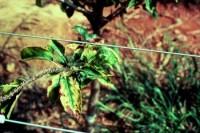 carence en magnésium (feuilles)