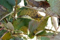 criblure (feuilles)