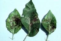 entomosporiose (feuilles)