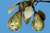 entomosporiose (fruit)