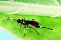 guêpes ichneumones (adulte)