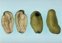 maladie des pochettes (fruit)