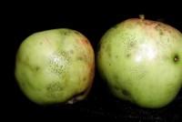 moucheture (pommes)