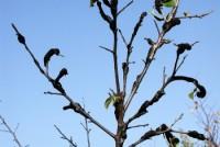 nodule noir (branches)