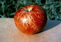 oïdium du pommier et du poirier (fruit)