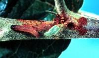 pyrale du maïs (larve et dégât)
