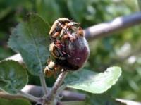 scarabée du rosier (adultes)