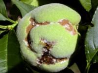 scarabée du rosier (dégât)