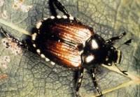 scarabée japonais (adulte)