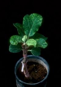 taches chlorotiques du pommier (feuilles)
