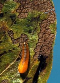 tenthrède-limace des rosacées (larve)