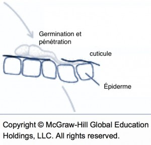 cycle de la tavelure (germination et pénétration)