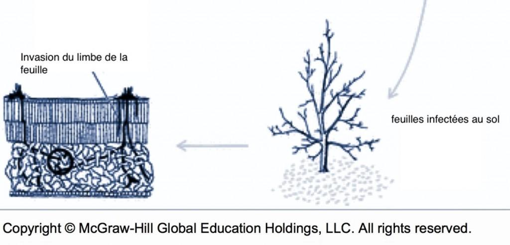 cycle de la tavelure (mortalité, chute des feuilles et invasion du limbe de la feuille)