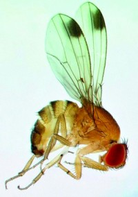 drosophile à ailes tachetées (adulte mâle)