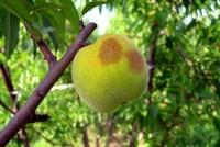 tache de rouille (fruit)