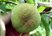 tache noire bactérienne (fruit)