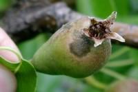 tavelure du poirier (fruit)