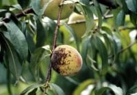 tavelure noire (fruit)