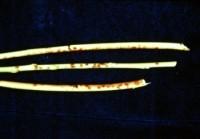 tavelure noire (tiges)