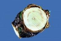 verticilliose (branche)