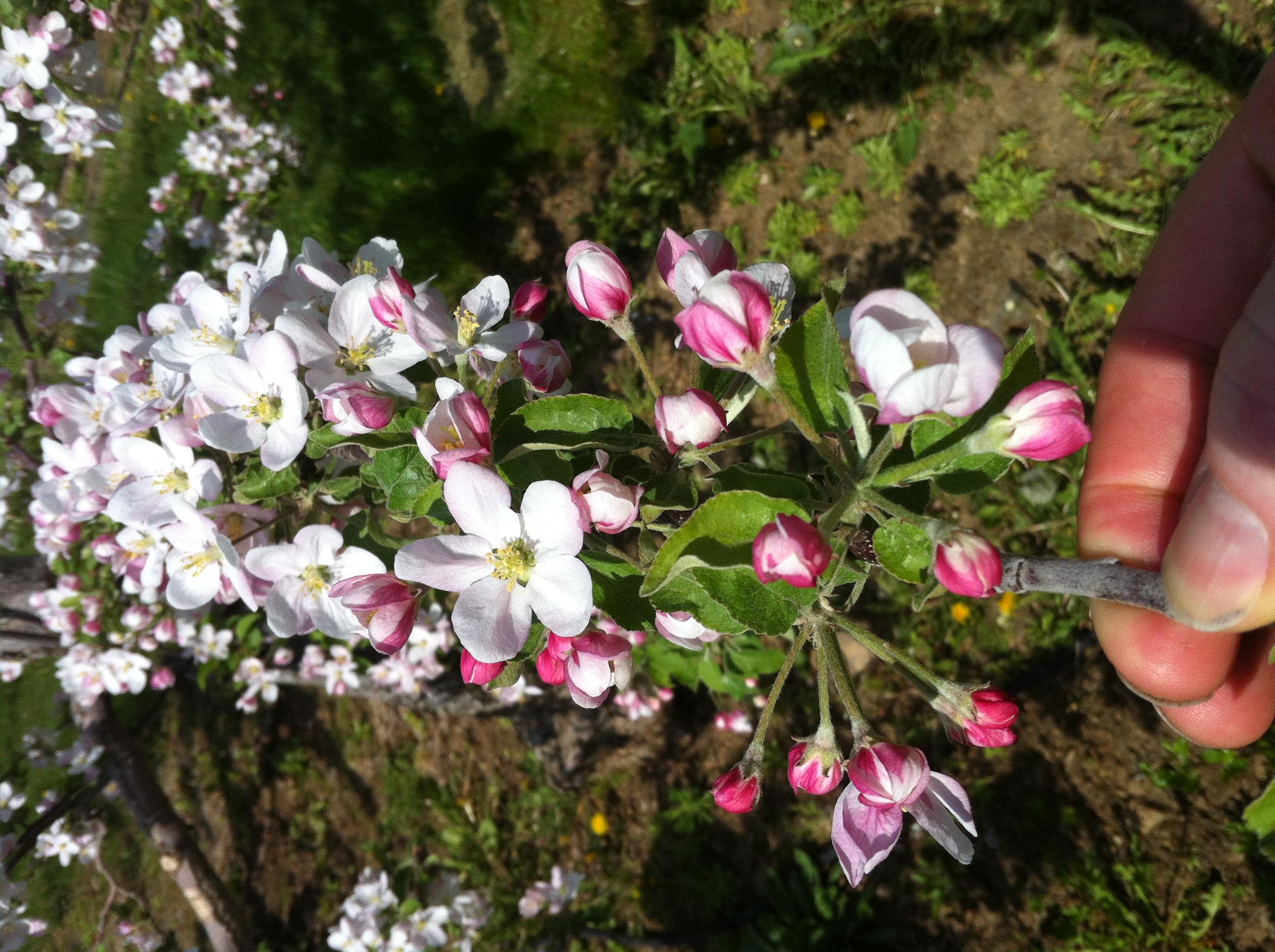 Traiter toutes les fleurs est couteux. Par exemple, les fleurs sur le bois d'un an éclosent plus tard. Visez donc les fleurs selon le risque.