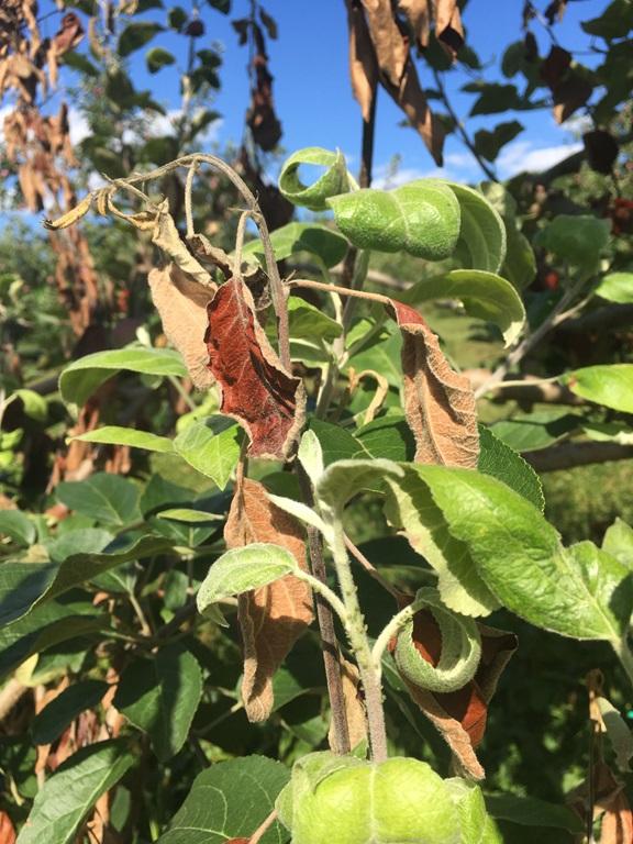 Présence de feu bactérien et pucerons, favorisée par une croissance excessive